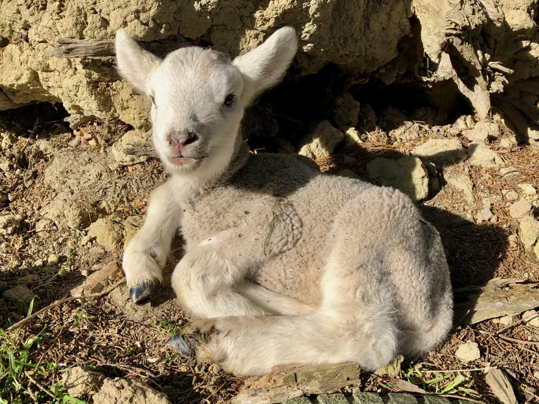 Leo the lamb enjoying some sun tucked up outside.
