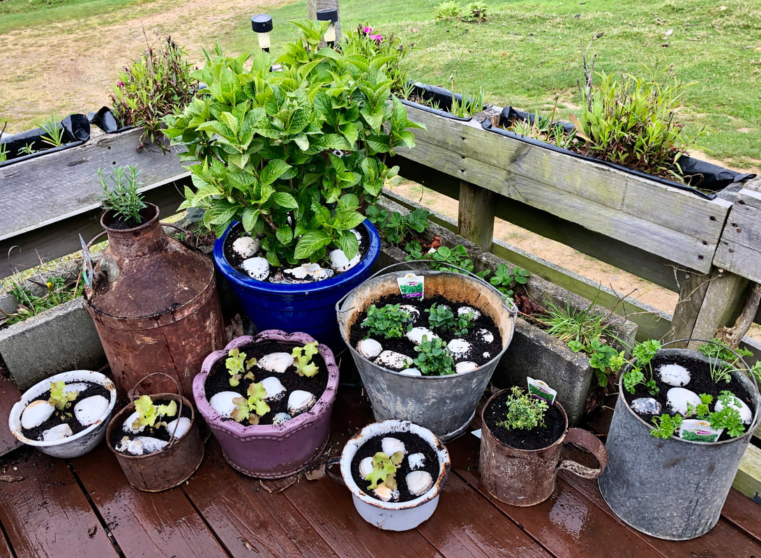 Antique farm containers transformed into planters for herbs including: rosemary in a milk can, parsely and oregano in old metal buckets, lemon thyme in an old dipper jug, and lettuces in various containers. Happy accident, hydrangea in blue pot included in image.