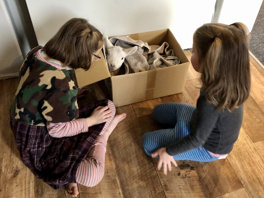 Emily Larkins Author's two daughters with sick little lamb Leo in a box while they wait for help in the form of Grandad with medicine.